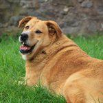 Übergewichtige Hunde in der Tierphysiotherapie